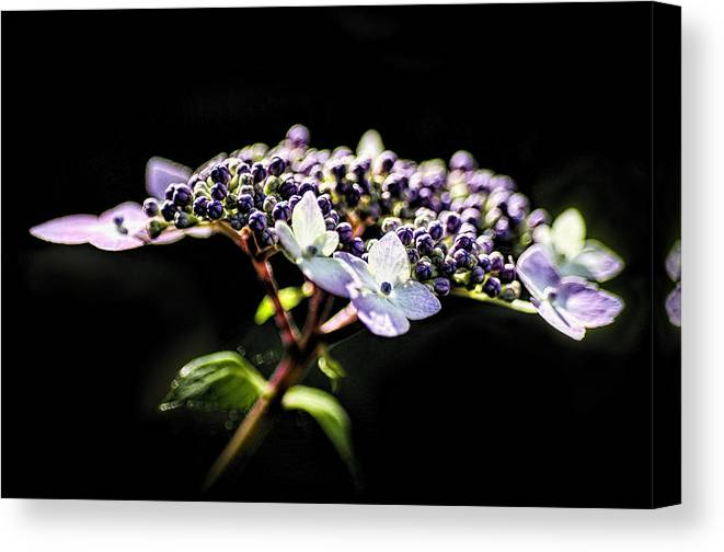 Flower Canvas Print featuring the photograph Hydrangea by Irene Theriau