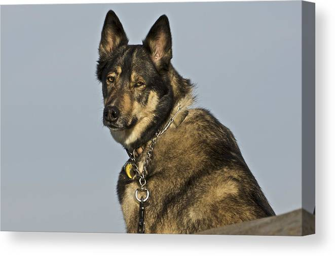 Canine Canvas Print featuring the photograph I Know by SC Heffner
