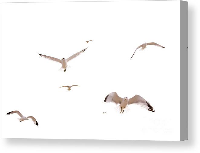 Birds Canvas Print featuring the photograph In Flight by Cindy Tiefenbrunn