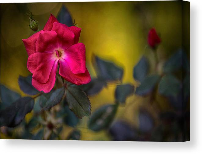 Roses Canvas Print featuring the photograph In Love by Mary Buck