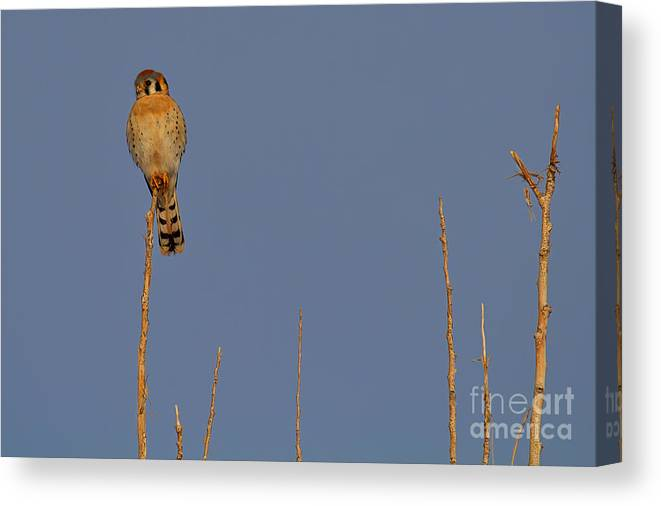 Kestrel Print Canvas Print featuring the photograph In The Tree Top by Jim Garrison