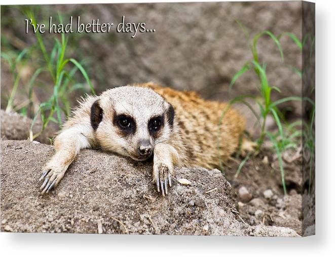 Meerkat Canvas Print featuring the photograph I've Had Better Days by Jeff Abrahamson