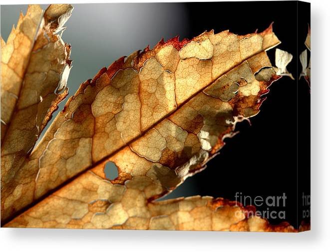 Brown Canvas Print featuring the photograph Japanese Maple Leaf Brown - 4 by Kenny Glotfelty