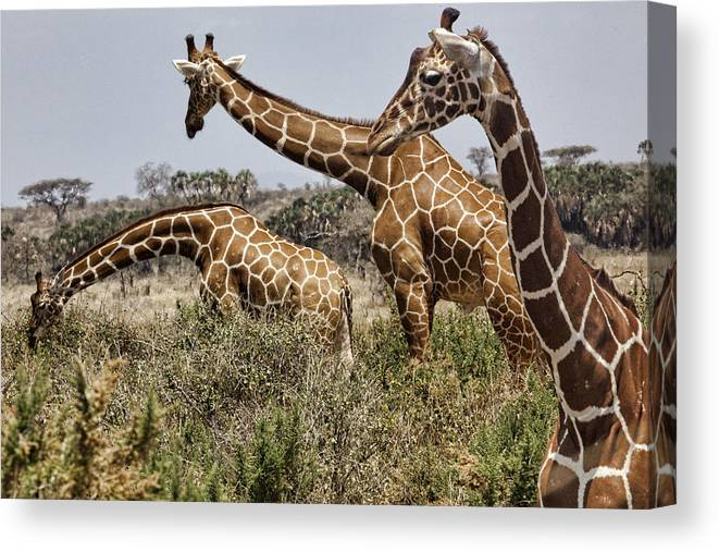 Giraffes Group Gathering Three Wild Kenya Africa Canvas Print featuring the photograph Just Giraffes by Wendy White