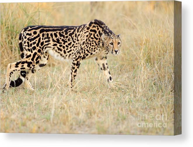 King Cheetah South Africa Canvas Print