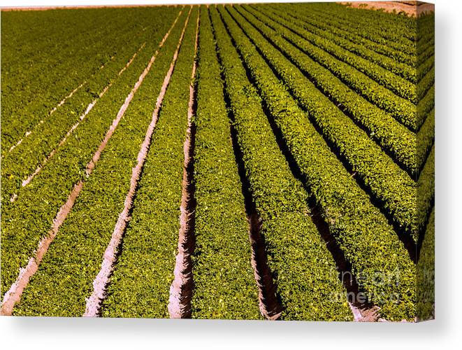Yuma Canvas Print featuring the photograph Lettuce Farming by Robert Bales