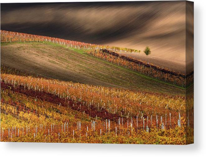 Agriculture Canvas Print featuring the photograph Line And Vine by Vlad Sokolovsky