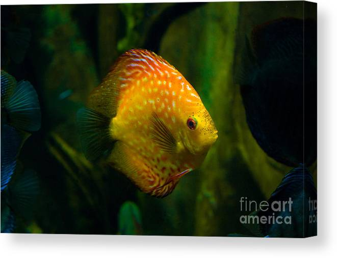 Sea Fish Canvas Print featuring the photograph Lonely by Bob McGill