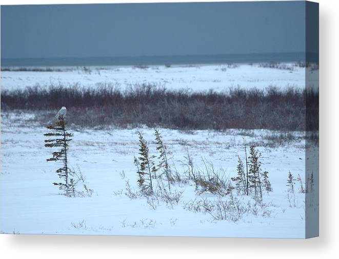 Snowy Owl Canvas Print featuring the photograph Lookout by Ian Ashbaugh