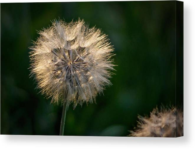 Dandelion Canvas Print featuring the photograph Make A Wish by Linda Storm