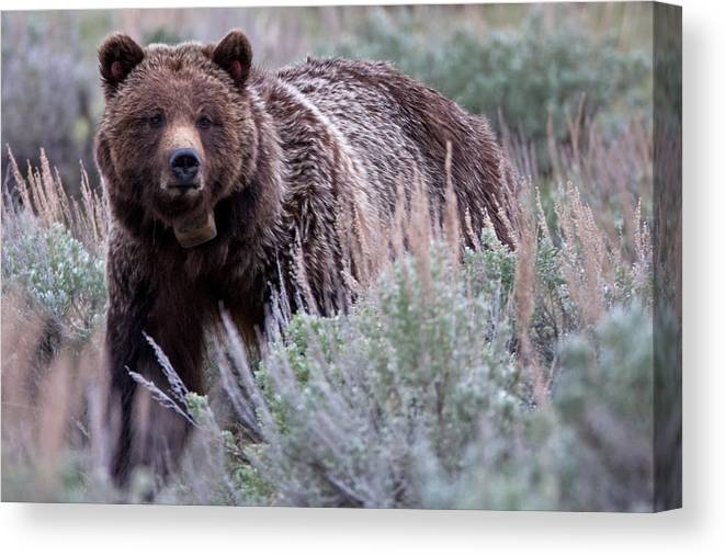 Grizzly Canvas Print featuring the photograph Mama Grizzly by Natural Focal Point Photography