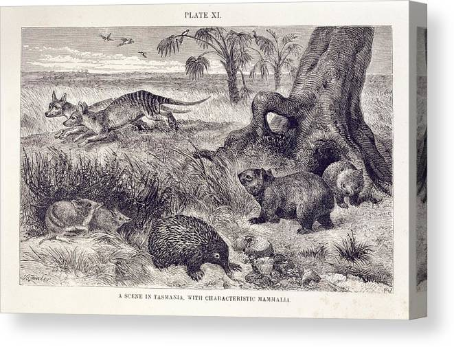 1876 Canvas Print featuring the photograph Mammals Of Tasmania by Natural History Museum, London/science Photo Library