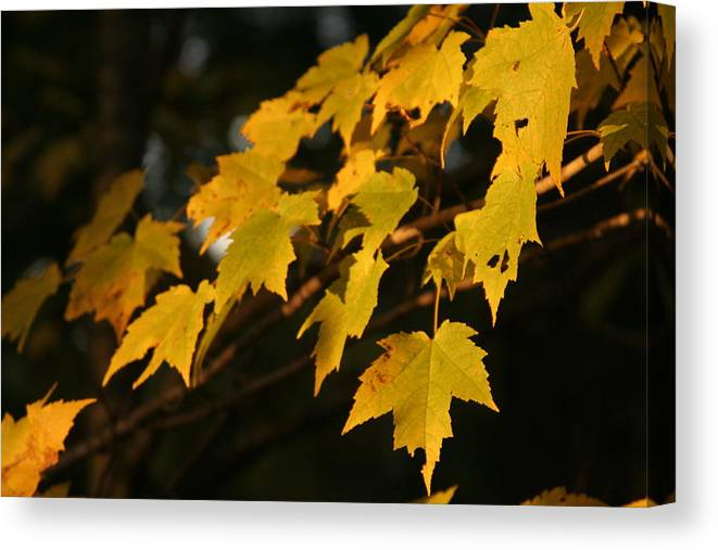 Maple Canvas Print featuring the photograph Maple Leaves - B by Jesse Chitwood
