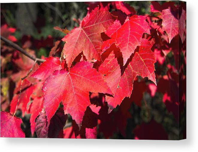 Leaves Canvas Print featuring the photograph Red Maple Leaves by Ray Summers Photography