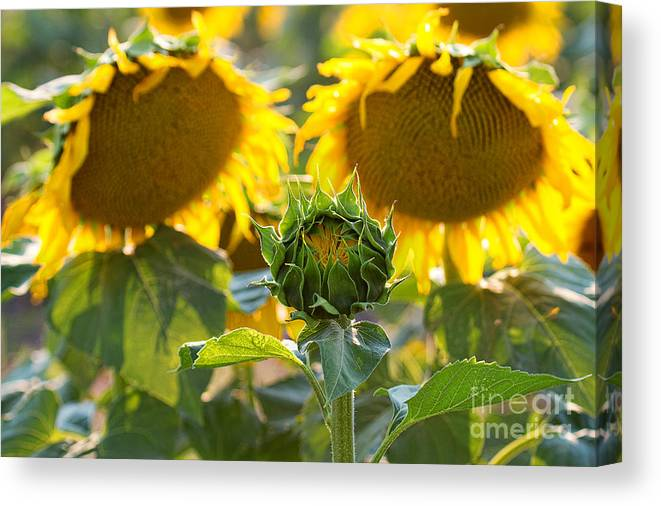 Flowers Canvas Print featuring the photograph Midwives by Jim Garrison