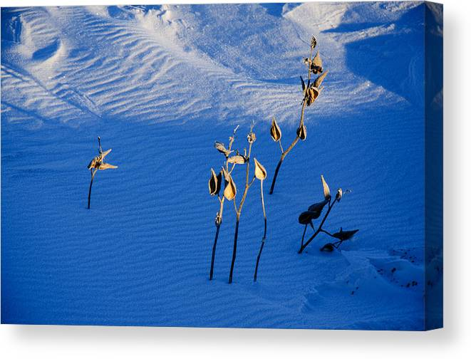 Snow Drifts White Blue Milkweeds Pods Cold Nature Prairie Dawn Shadows Canvas Print featuring the photograph Milkweeds In The Snow by Dan Meylor