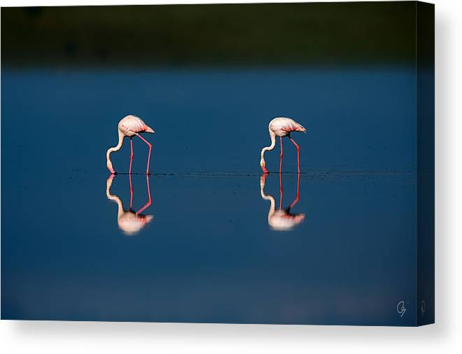 Jeppsson Canvas Print featuring the photograph Mirrored Flamingos by Jeppsson Photography