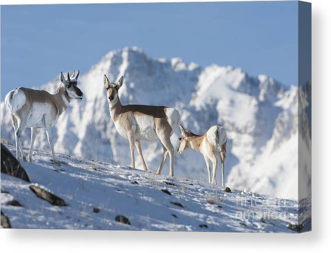 Pronghorn Canvas Print featuring the photograph Montana Pronghorn by Wildlife Fine Art