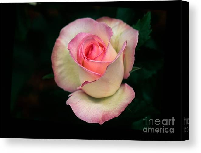 Moonstone Rose Macro Canvas Print featuring the photograph Moonstone Rose by Louis Hefle