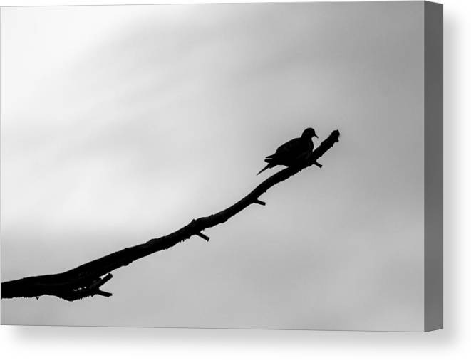 Mourning Dove Silhouette Canvas Print