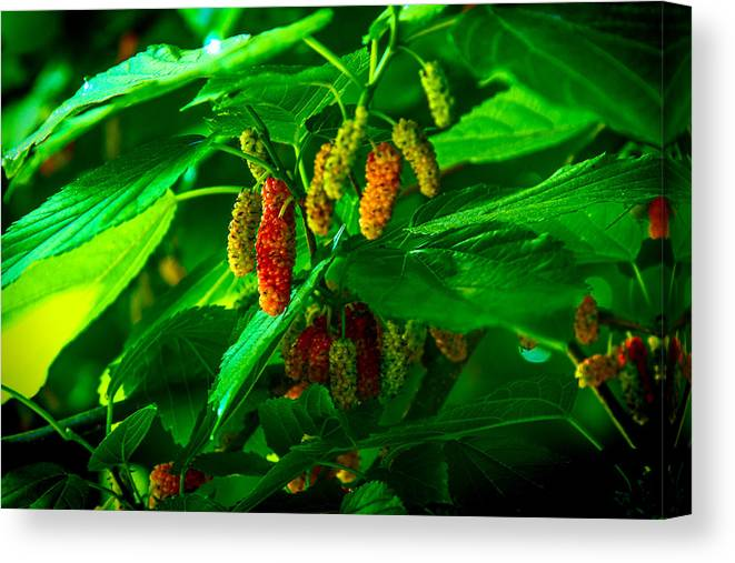 Mulberry Canvas Print featuring the photograph Mulberries - Fruit - Berries by Barry Jones