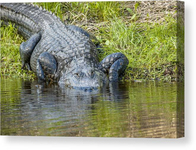 Myakka River State Park Canvas Print featuring the photograph Myakka River Alligator by Art Spearing