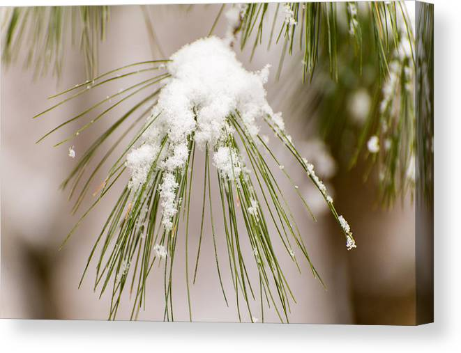 Nature Canvas Print featuring the photograph Needles In The Snow by John Carroll