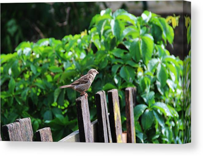 Old Fence Canvas Print featuring the photograph Old Fence by Albert Babiuc