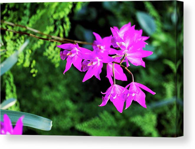 Orchid Canvas Print featuring the photograph Orchid (laelia Gouldiana) by Anthony Cooper/science Photo Library