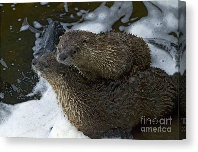 Otter Canvas Print featuring the photograph Pair Of River Otters  #1266 by J L Woody Wooden