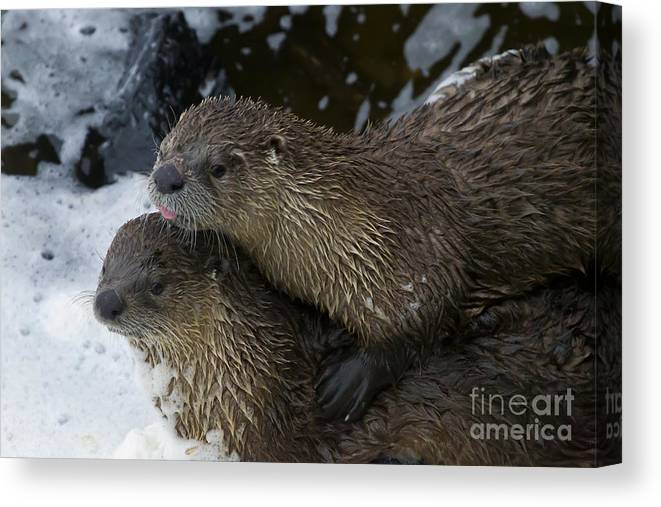Otter Canvas Print featuring the photograph Pair Of River Otters  #1301 by J L Woody Wooden
