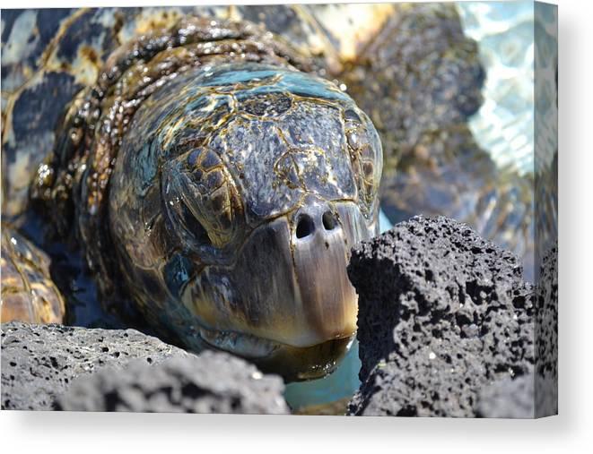 Turtle Canvas Print featuring the photograph Peek-a-boo Turtle by Amanda Eberly-Kudamik