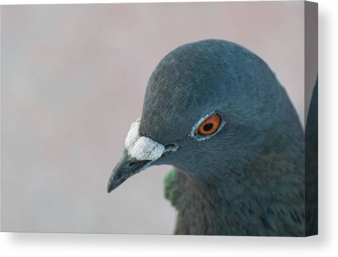 Pigeon Canvas Print featuring the photograph Pigeon by Terrence Downing