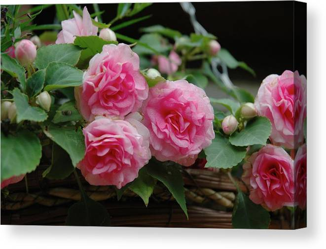 Begonias Canvas Print featuring the photograph Pink Begonias by Hella Buchheim