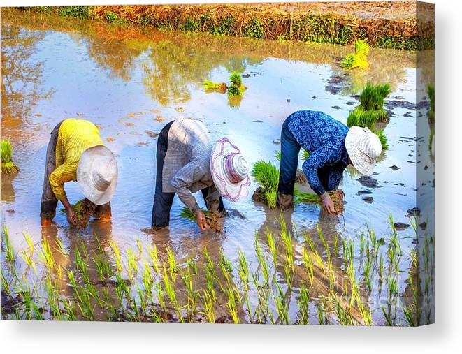 Women Canvas Print featuring the photograph Planting Rice by Roberta Bragan