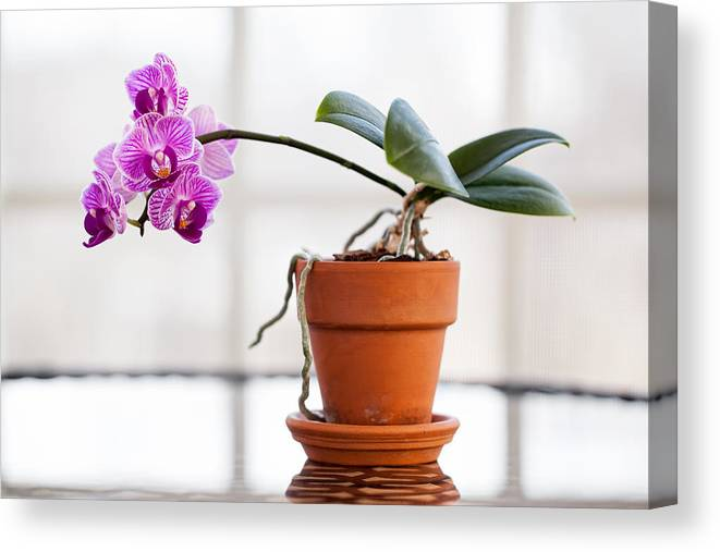 Blooming Canvas Print featuring the photograph Potted Pink Orchid by Leslie Banks