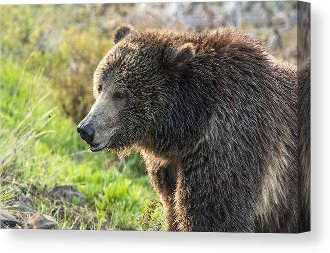 Grizzly Bear Canvas Print featuring the photograph Raspberry At Dawn by Yeates Photography