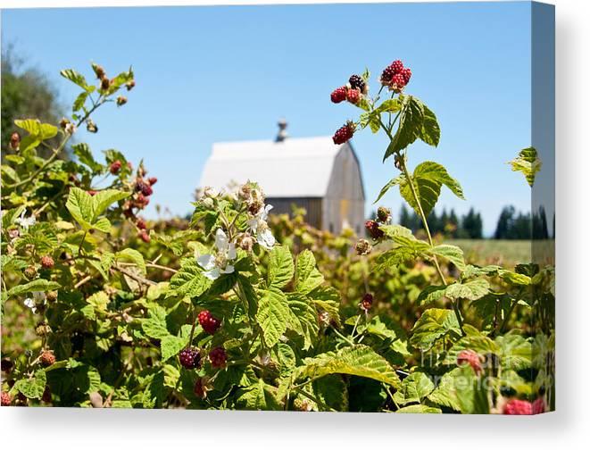 Farms Canvas Print featuring the photograph Raspberry Farm by Jackie Follett