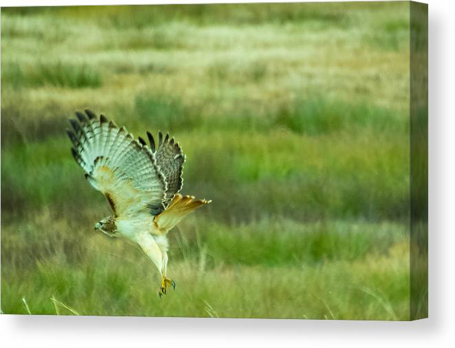 Red Tailed Hawk Canvas Print featuring the photograph Red Tailed Hawk by Douglas Newman