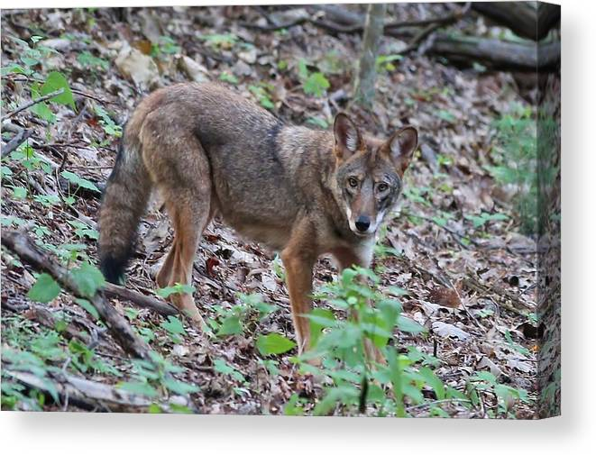 Mammal Canvas Print featuring the photograph Watchful Eye by Paul Golder
