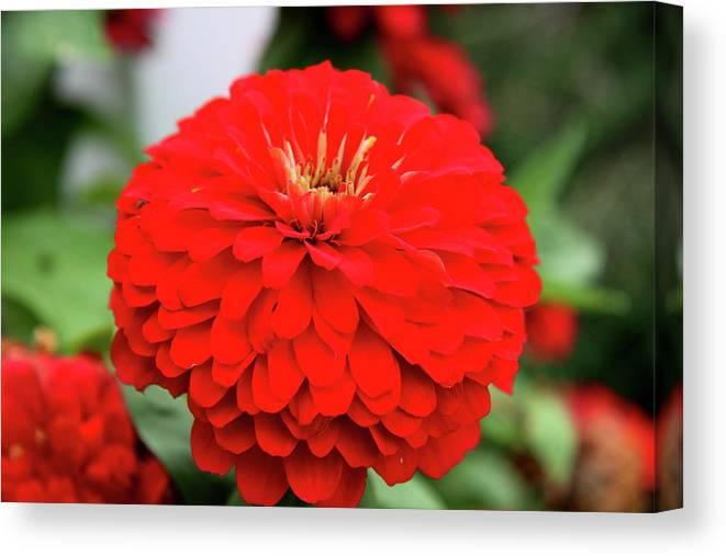 Zinnia Canvas Print featuring the photograph Red Zinnia by Christiane Schulze Art And Photography