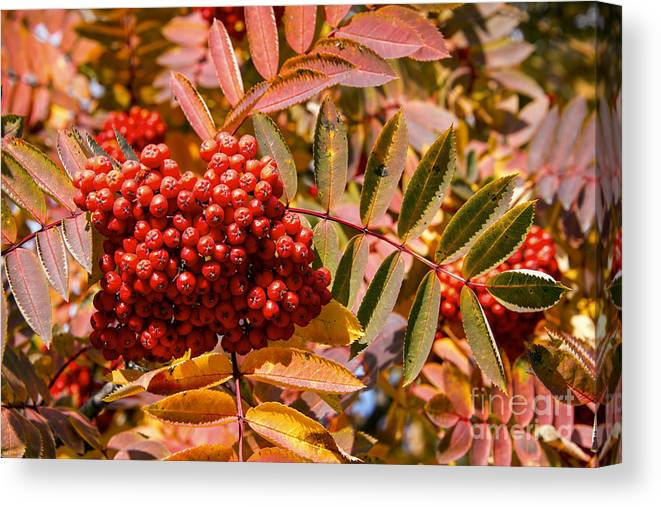 Canmore Canada Tree Trees Fall Color Autumn Colors Leaf Leaves Buffalo Berry Berries Fruit Fruits Canvas Print featuring the photograph Reds by Bob Phillips