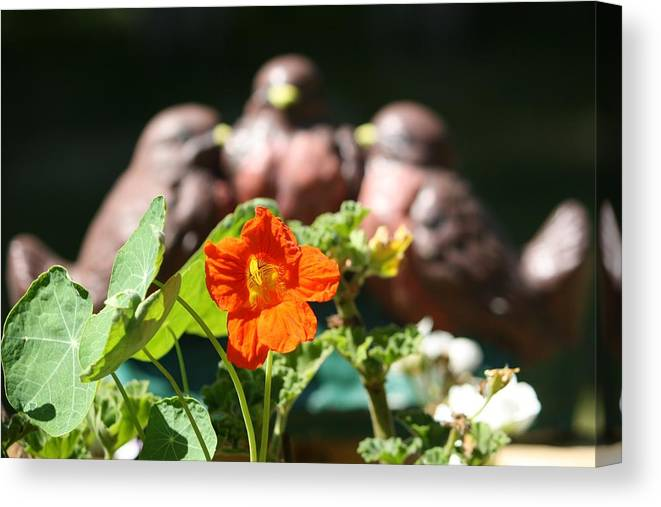 Robins Canvas Print featuring the photograph Robin Trio by Sue Chisholm