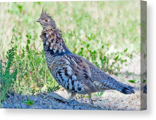 Ruffed Grouse Canvas Print featuring the photograph Ruffed Grouse In Minnesota by Natural Focal Point Photography