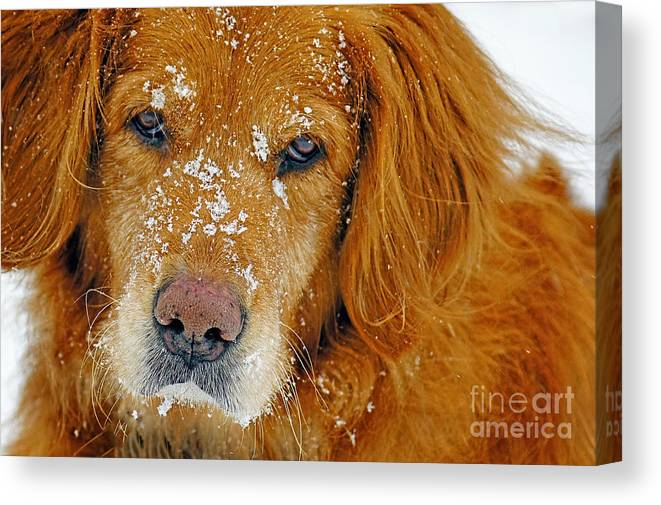 Golden Retriever Canvas Print featuring the photograph Pretty Red-head by ArtissiMo Photography