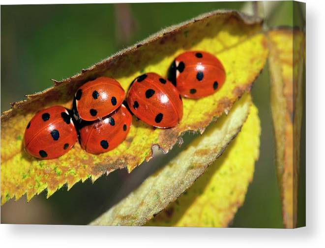Animal Canvas Print featuring the photograph Seven-spot Ladybirds On A Leaf by Dr. John Brackenbury/science Photo Library