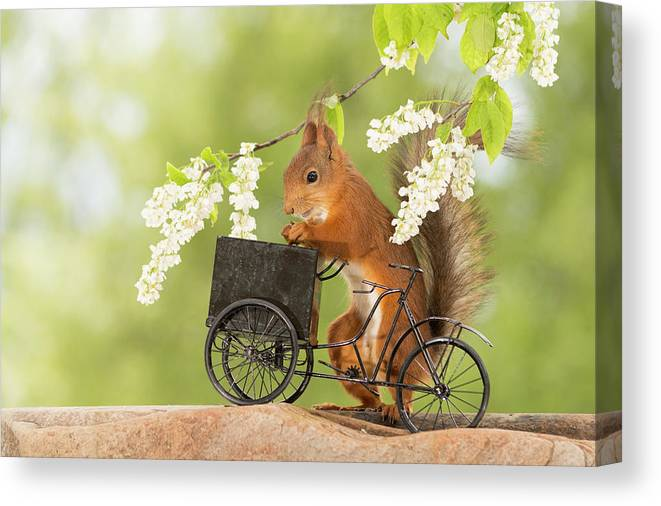 Nobody Canvas Print featuring the photograph Side View Of Red Squirrel Playing by Geert Weggen