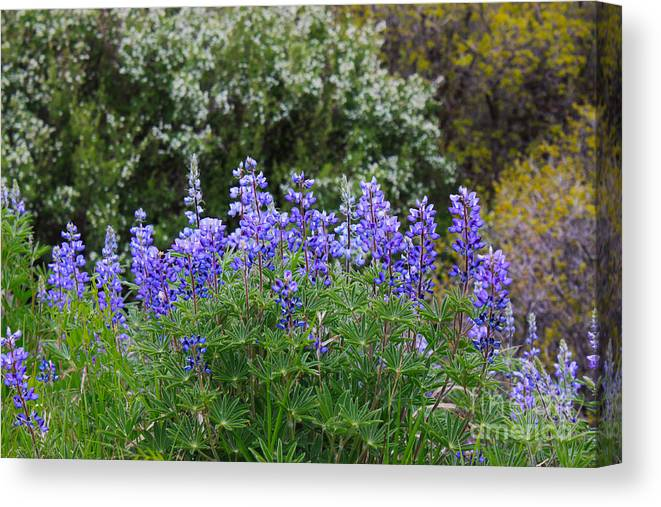 Herb Canvas Print featuring the photograph Silvery Lupine Black Canyon Colorado by Janice Pariza