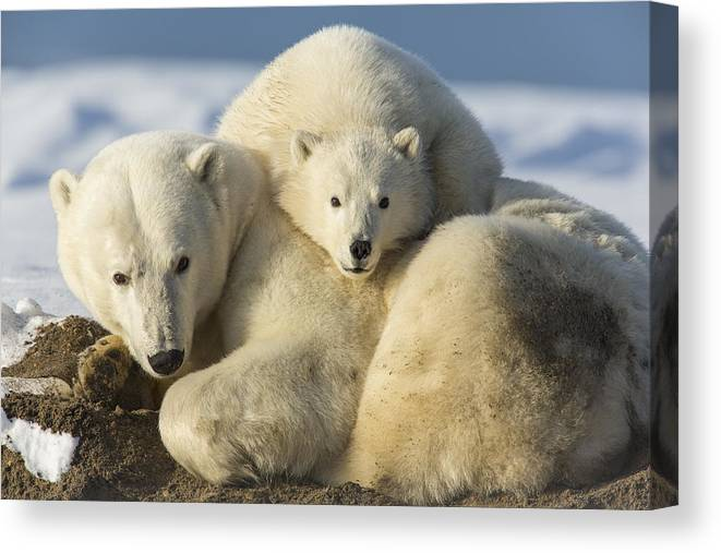 Anwr Canvas Print featuring the photograph Sleeping On Mom by Tim Grams