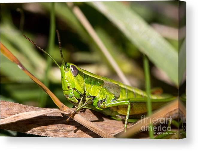 Bulgaria Canvas Print featuring the photograph Smaragd-green Grasshopper by Jivko Nakev